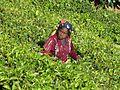 Sri Lanka-Province du Centre-Cueilleuse de thé (2).jpg