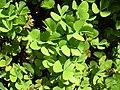Starr-040318-0057-Marsilea villosa-leaves-Maui Nui Botanical Garden-Maui (24606113011).jpg