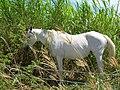 Starr-060820-8596-Cenchrus purpureus-habit and horses grazing-Makawao-Maui (24236141894).jpg