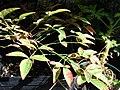 Starr-080103-1453-Nandina domestica-habit-Lowes Garden Center Kahului-Maui (24532244949).jpg