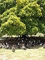 Starr-080531-4771-Ficus microcarpa-habit with Laysan albatross seeking shade-Commodore Ave across from barracks Sand Island-Midway Atoll (24283841963).jpg