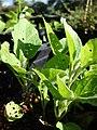 Starr-081031-0411-Solanum melongena-small plants-Makawao-Maui (24900414686).jpg