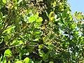 Starr-090618-1283-Anacardium occidentale-flowers and leaves-Haiku-Maui (24335538434).jpg