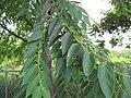 Starr-090623-1710-Trema orientalis-leaves and flowers-Paani Mai Park Hana-Maui (24336608024).jpg