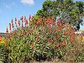 Starr-091209-0423-Aloe arborescens-flowering habit-Kula-Maui (24696460870).jpg