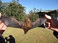 Starr-100907-9060-Eucalyptus sp-habitat with Hawaiian hoary bat Lasiurus cinereus semotus-Olinda-Maui (25025006036).jpg