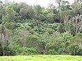 Starr-101130-9588-Montanoa hibiscifolia-flowering habit-Ulupalakua-Maui (24689568049).jpg
