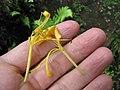 Starr-110307-1989-Lonicera japonica-old flowers-Kula Botanical Garden-Maui (24450513833).jpg