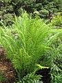 Starr-110307-2341-Blechnum gibbum-habit-Kula Botanical Garden-Maui (25051625366).jpg