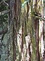 Starr-110307-2367-Sequoia sempervirens-bark-Kula Botanical Garden-Maui (24983568041).jpg