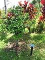 Starr-110330-4022-Citrus reticulata x sinensis-habit with plant label-Garden of Eden Keanae-Maui (24713444899).jpg