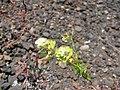 Starr-110712-7013-Lepidium virginicum-flowers-Near Puu Naue HNP-Maui (25005597191).jpg
