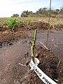 Starr-120508-5646-Persea americana-plant eaten by deer-Omura Farm Kula-Maui (24846691170).jpg