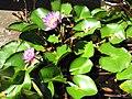 Starr-120522-5936-Nymphaea sp-flowering habit-Iao Tropical Gardens of Maui-Maui (25049635811).jpg