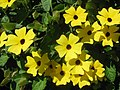 Starr-130313-1743-Thunbergia alata-Cv Sundance flowers-Enchanting Floral Gardens of Kula-Maui (25114215921).jpg