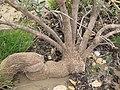 Starr-130422-4225-Calotropis procera-gnarly old trunk-Kahului-Maui (25210383735).jpg