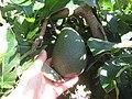 Starr-140614-4552-Persea americana-Little Cado fruit-Hawea Pl Olinda-Maui (24875455559).jpg