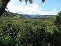 Starr-140909-1816-Hibiscus tiliaceus-habit view mauka into Koolau Gap-Wailua-Maui (25245983495).jpg