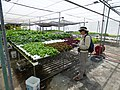 Starr-150326-0885-Lactuca sativa-several varieties in Hydroponics greenhouse with Kim-Town Sand Island-Midway Atoll (25267079185).jpg