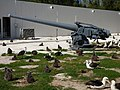 Starr-150328-0965-Coronopus didymus-Gun and Laysan Albatrosses-Midway Memorial Sand Island-Midway Atoll (24901796479).jpg