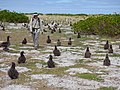 Starr-150402-0818-Brassica juncea-Kim with Laysan Albatrosses-Northeast Eastern Island-Midway Atoll (24976419340).jpg
