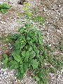 Starr-150403-1407-Brassica juncea-flowering habit-Southeast Eastern Island-Midway Atoll (24650830363).jpg
