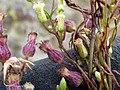 Starr-180326-0318-Conyza bonariensis-on left and Conyza canadensis var pusilla flowers on right-Kahikinui-Maui (40527404884).jpg