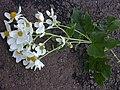 Starr 020103-0011 Montanoa hibiscifolia.jpg