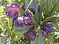 Starr 020311-0001 Dodonaea viscosa.jpg