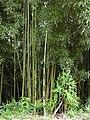 Starr 030807-0022 Phyllostachys nigra.jpg