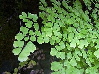 <i>Adiantum raddianum</i> species of plant
