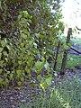 Starr 040105-0098 Croton guatemalensis.jpg