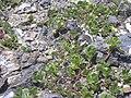 Starr 050406-0209 Portulaca lutea.jpg