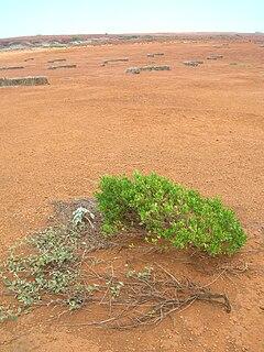 Dodonaea viscosa wikipedia la enciclopedia libre for Nelson paredes wikipedia