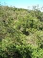 Starr 050817-3829 Acacia mearnsii.jpg