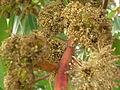 Starr 051123-5438 Eucalyptus botryoides.jpg