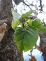 Starr 060429-9467 Nothocestrum latifolium.jpg