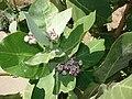 Starr 070207-4333 Calotropis procera.jpg