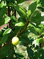 Starr 080405-3956 Prunus salicina.jpg