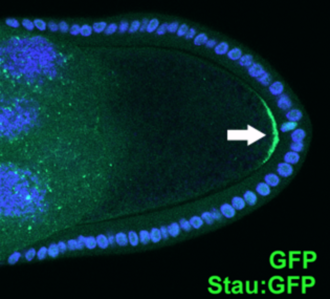 Cell polarity - Polarized localization of Staufen protein (white arrow) in Drosophila stage 9 oocyte (Stau:GFP, DAPI).