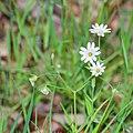 Stellaria holostea in Aveyron (6).jpg