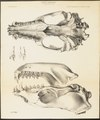 Stenorhynchus leopardinus - schedel - 1700-1880 - Print - Iconographia Zoologica - Special Collections University of Amsterdam - UBA01 IZ21100161.tif
