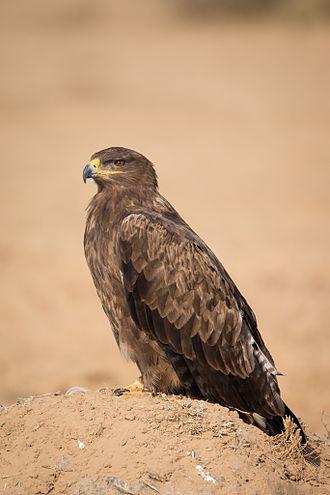 Steppe eagle - Individual at Jorbeer, Bikaner, Rajasthan