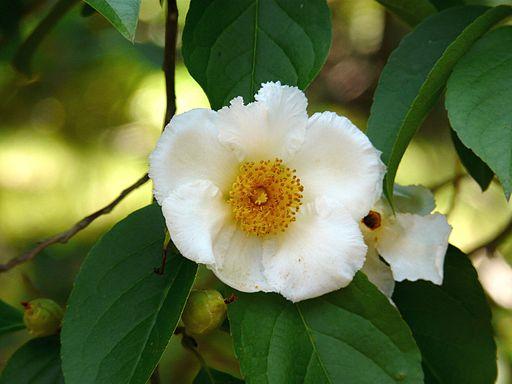 Stewartia pseudocamellia var. koreana (2832724786)