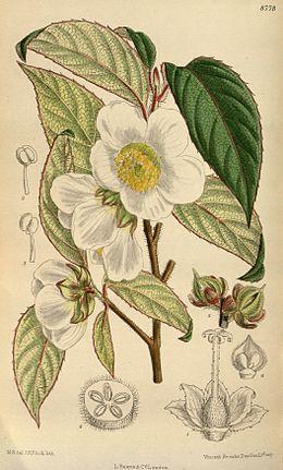 Stewartia sinensis 144-8778