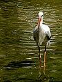 Stork لک لک 03.jpg
