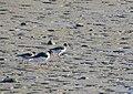 Strandskata Oystercatcher (14333502930).jpg