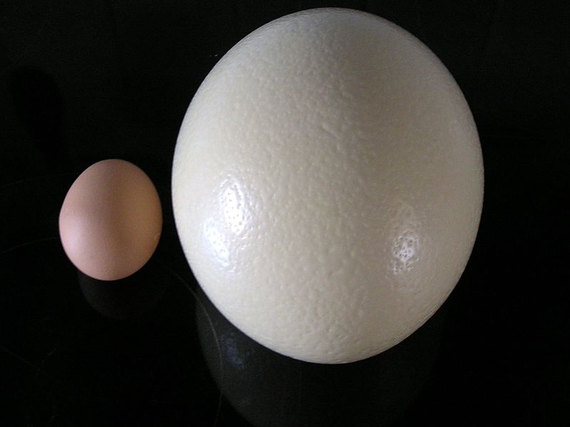 Ostrich egg (right), compared to chicken egg (left)