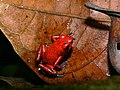Strawberry Poison Frog (Oophaga pumilio) (7087614843).jpg