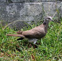 Streptopelia bitorquata -Saipan-8